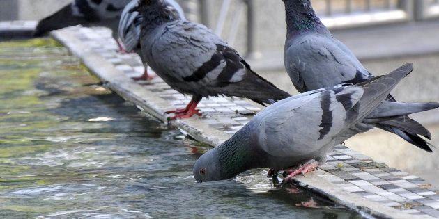 Pigeons Go On Strike, Won't Deliver Messages From Indian Men