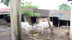India Needs More Fodder To Prevent Cattle