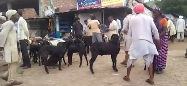 Blessed' Goats Are Good For Business At Bundelkhand's Bakra