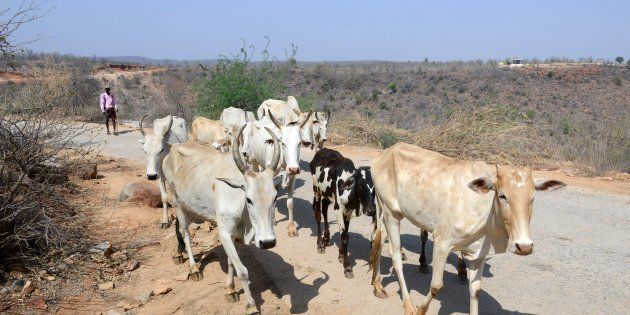 An Indian farmer walks with his cattle at Chandampet Mandal in Nalgonda east of Hyderabad on April 25, 2016, in the southern Indian state of Telangana.
