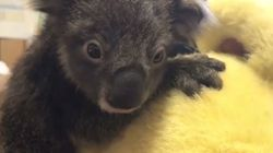 Watch: An Orphan Baby Koala Just Hugging His Teddy
