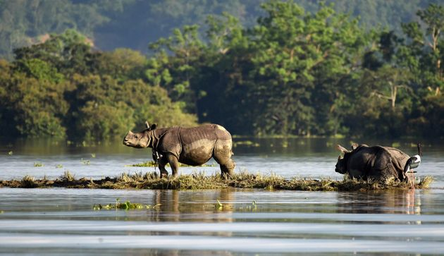 One-horned rhinoceroses are seen at the flooded Kaziranga National Park in the northeastern state of...