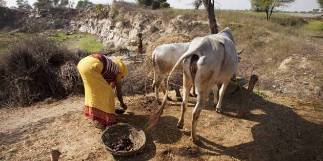 An Indian woman collecting cows manure to use as a fertiliser or combustible. (Photo by: Loop Images/UIG...