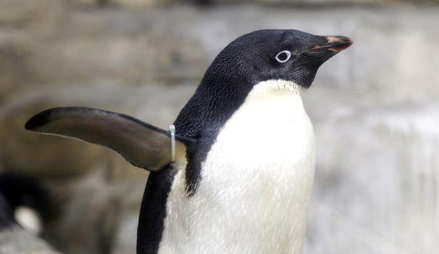 Πώς μια υπερ-αποικία 1,5 εκατ. πιγκουΐνων έμεινε κρυμμένη για 2.800 χρόνια