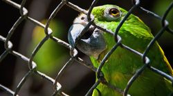 Chatty Family Parrot Exposes Husband's Affair To His
