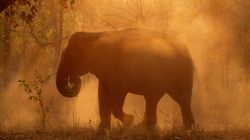 Wild Elephant Found Dead In Tripura, Police Suspect