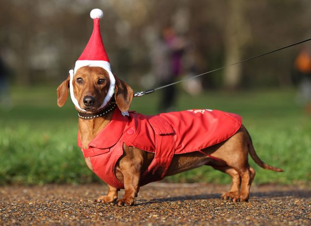 500 Sausage Dogs Dressed In Santa Outfits Had A Meetup And It's The Best Thing You'll See