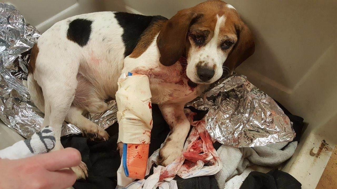 A beagle that was allegedly tossed onto a New York highway is seen recovery at the Broome County Humane Society.