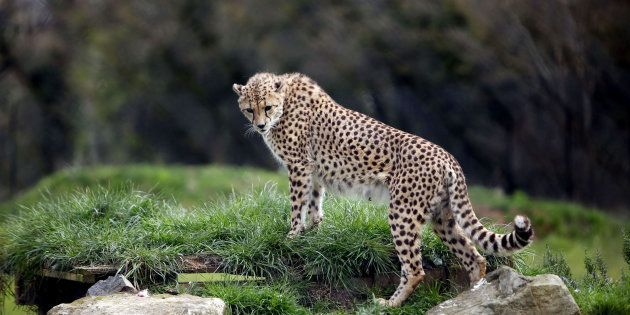 Cheetahs On The Brink Of 'Endangered'