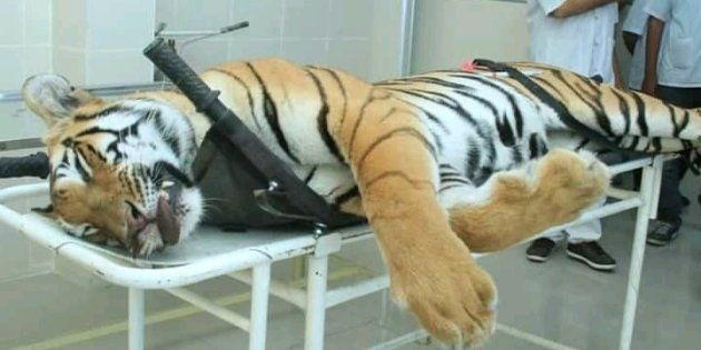 Avni the tigress who was killed on