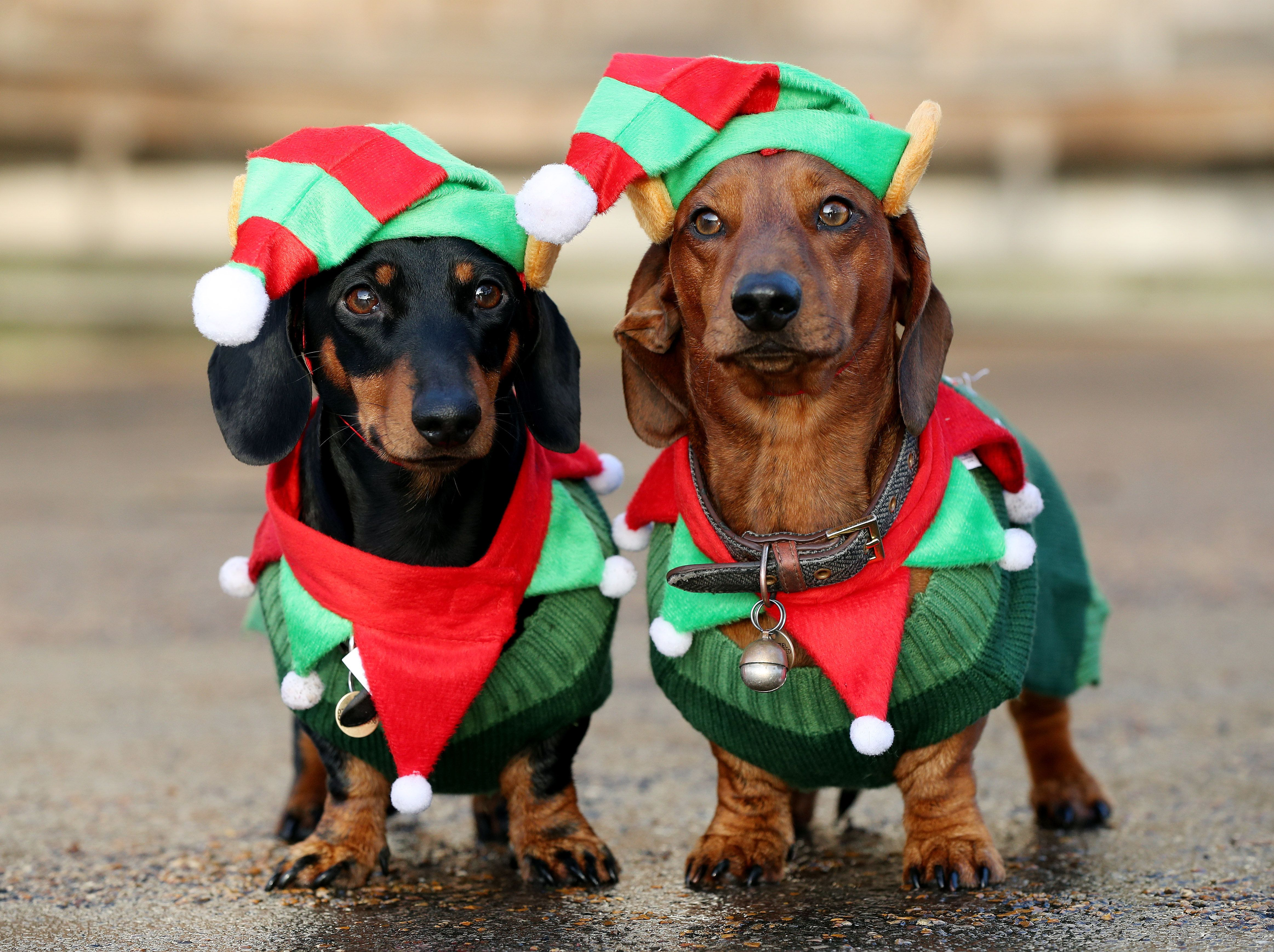 500 Festive Sausage Dogs Went On A Winter Walk And The Photos Are