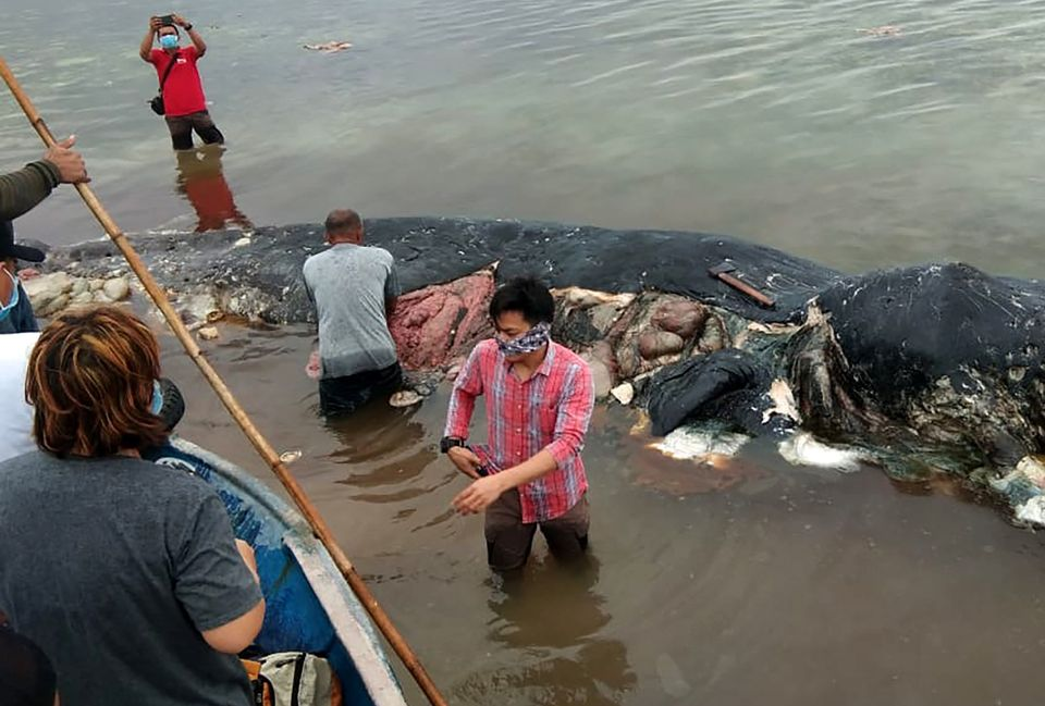 A 31-foot sperm whale washed up in Wakatobi National Park in Sulawesi province, Indonesia, in