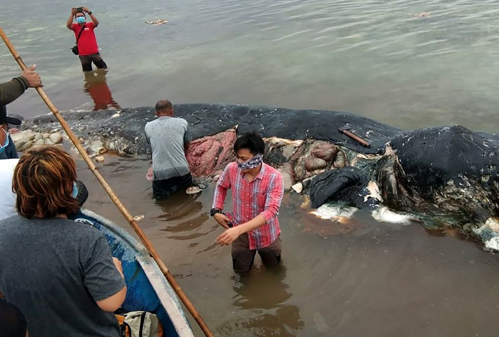 A 31-foot sperm whale washed up in Wakatobi National Park in Sulawesi province, Indonesia, in November.