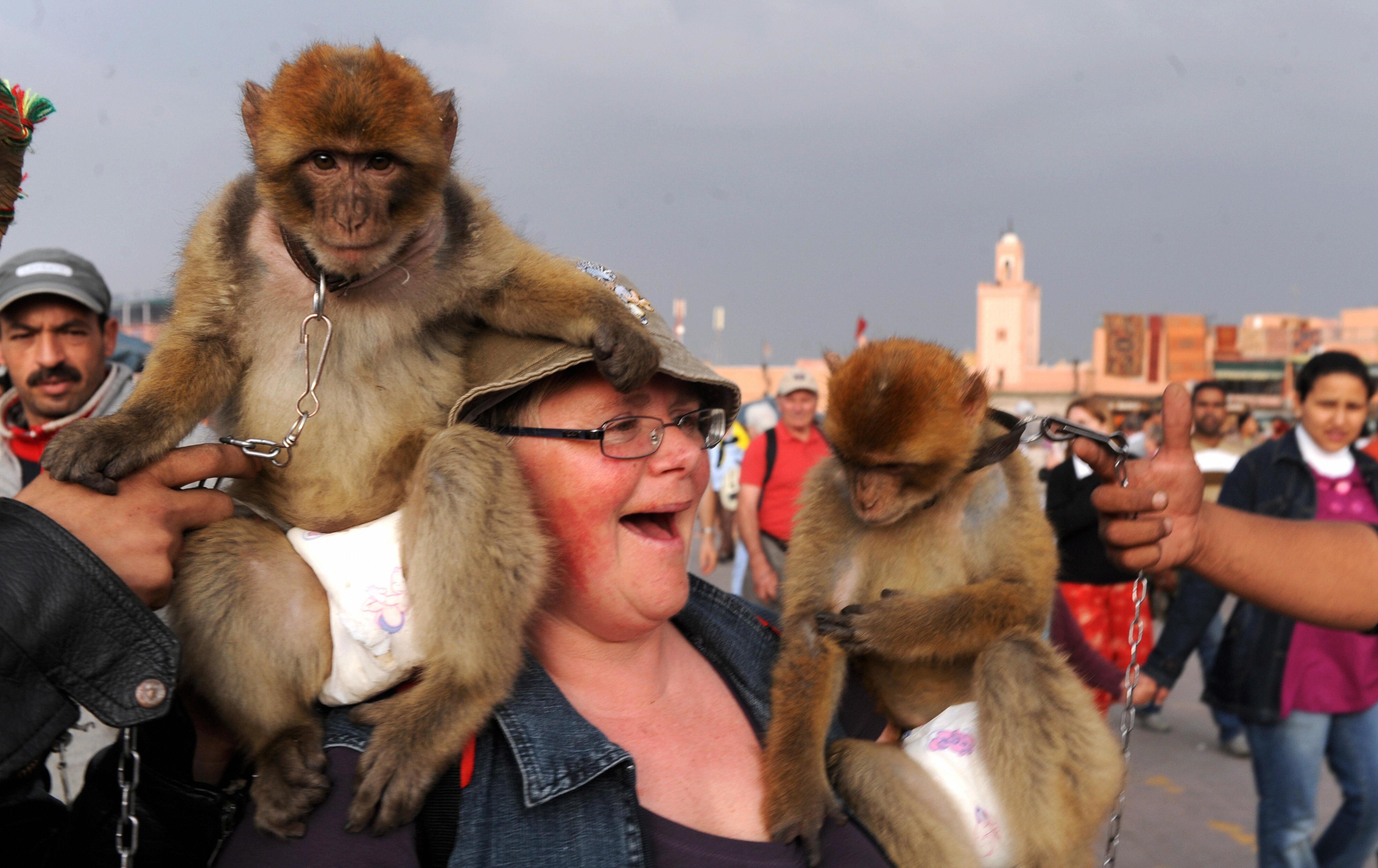 """Selon une étude, les touristes préfèreraient Marrakech sans les """"singes-accessoires"""" de Jemaa El"""