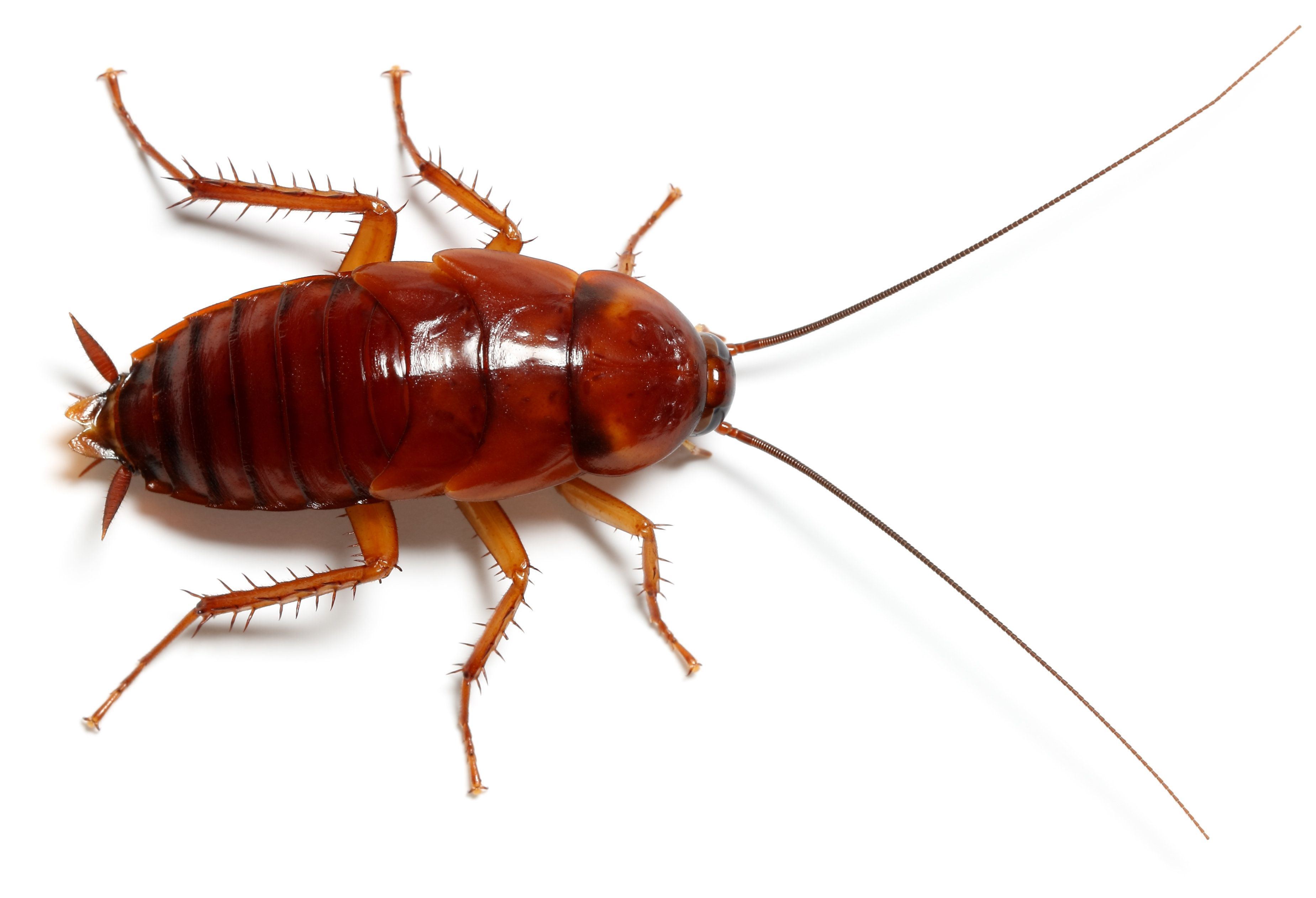 Cockroach Periplaneta americana