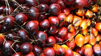 CIGUDEG, BOGOR, WEST JAVA, INDONESIA - 2018/11/10: Palm oil fruits are seen after being harvested at the Nusantara VIII palm oil plantations. (Photo by Adriana Adinandra/SOPA Images/LightRocket via Getty Images)