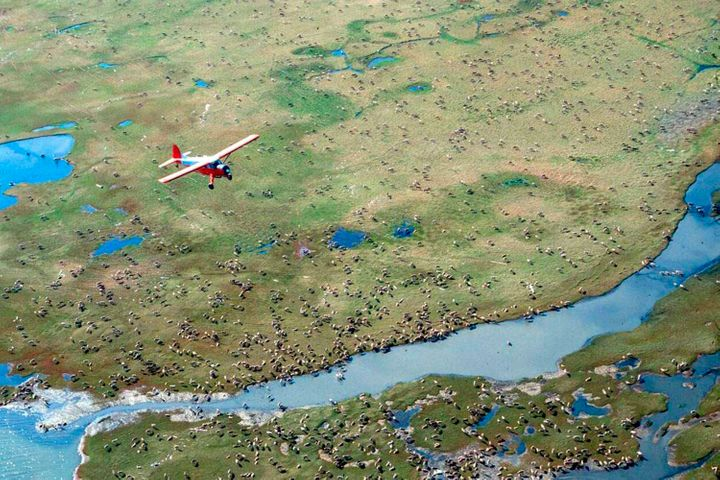 An airplane flies over caribou from the Porcupine Caribou Herd on the coastal plain of the Arctic National Wildlife Refuge in