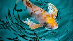 Γιατί τα ψάρια Κόι είναι τόσο ακριβά: Η ιστορία που έγινε