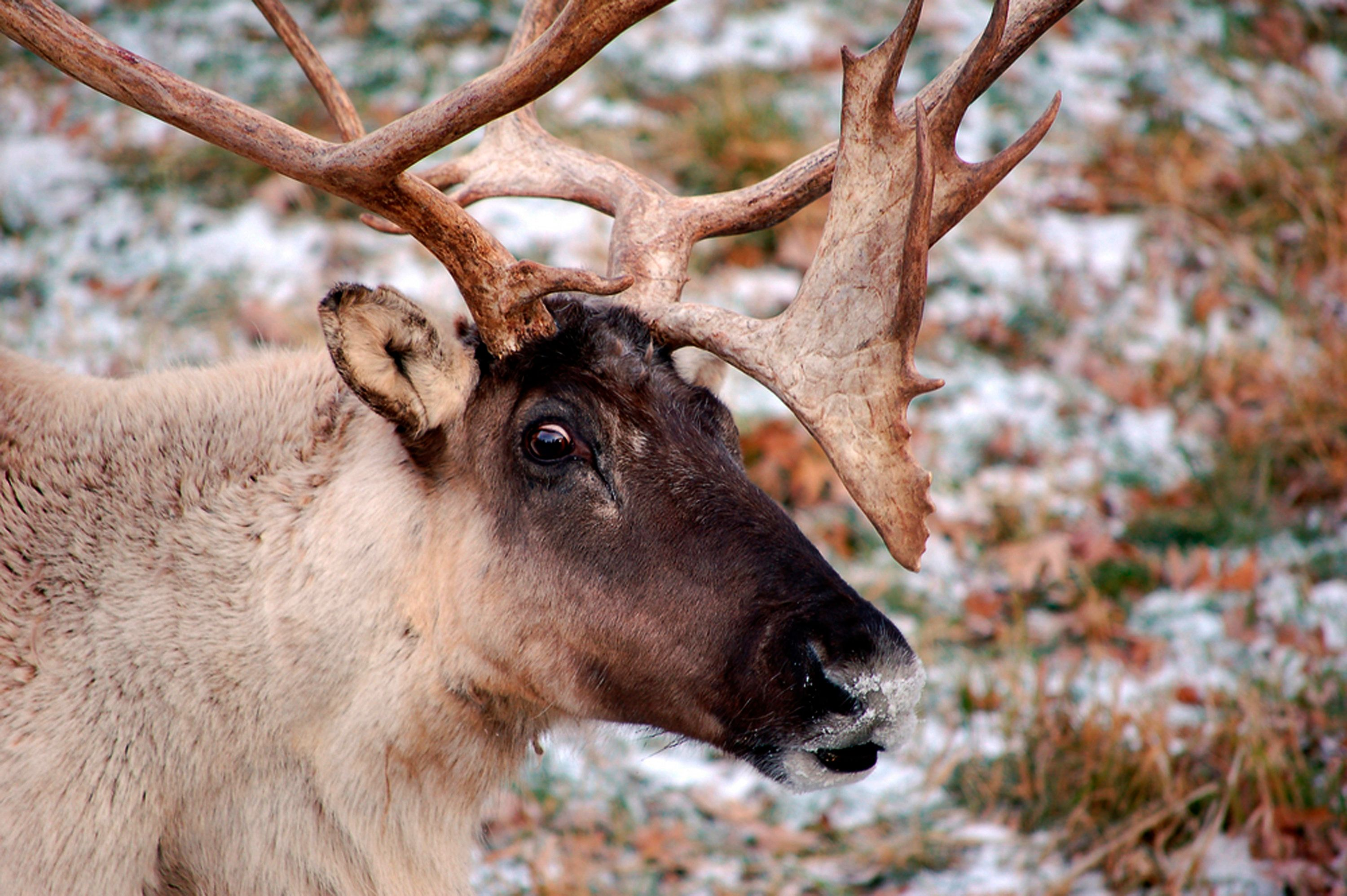 Wild reindeer populations have declined more than 50 percent over the last two