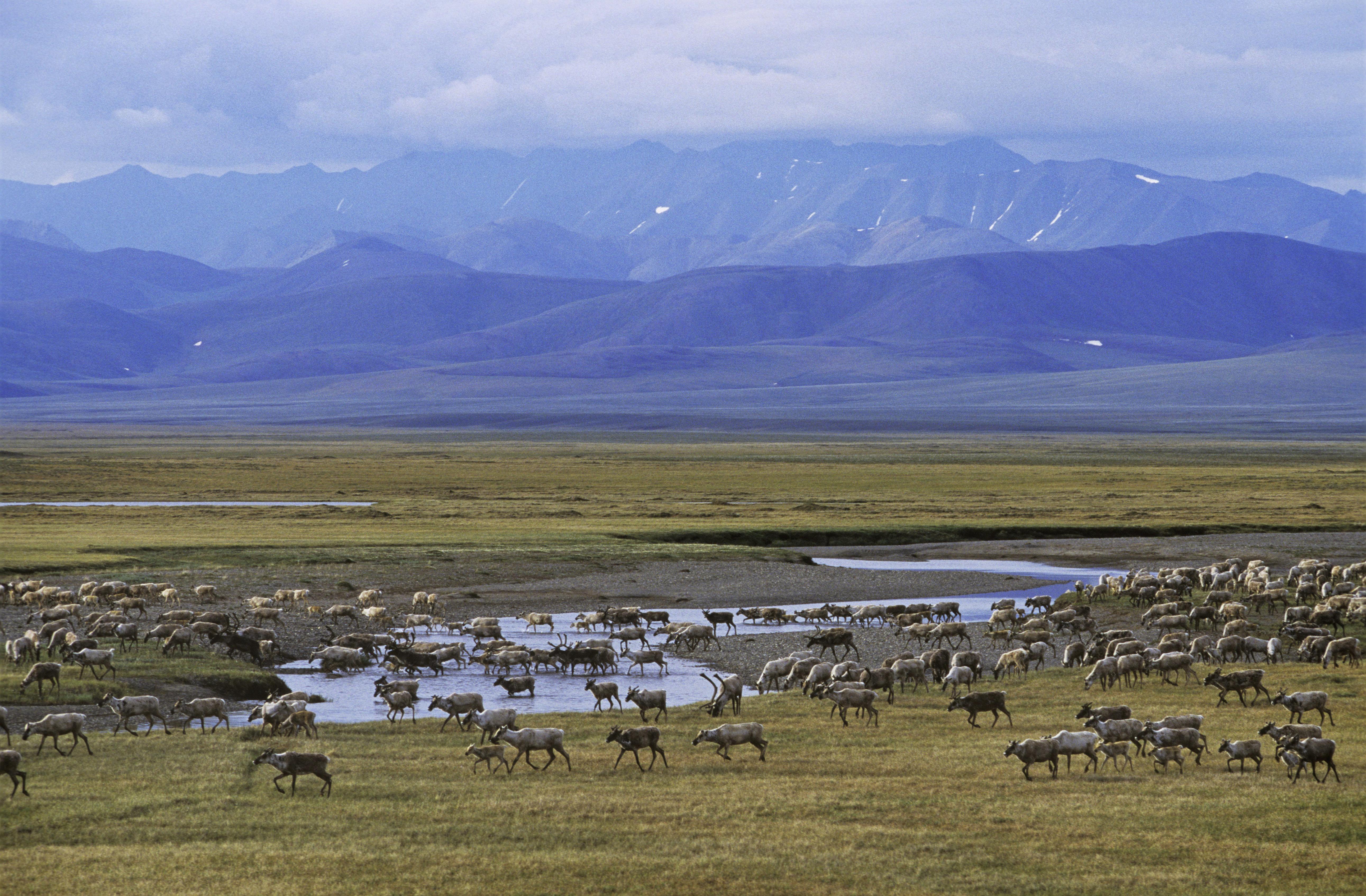 "The Arctic National Wildlife Refuge is often described as ""America's Serengeti."""