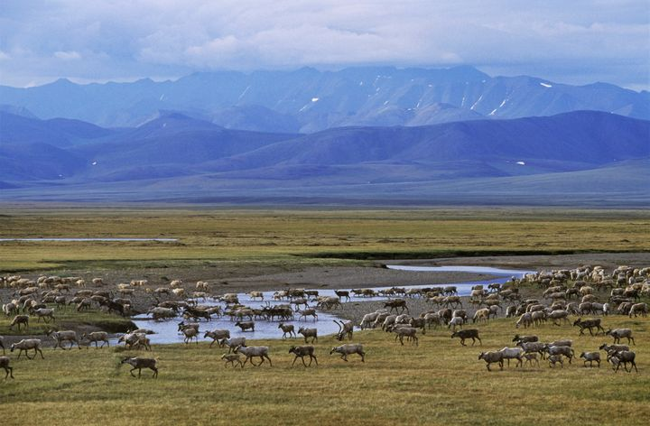 "The Arctic National Wildlife Refuge is often described as ""America's Serengeti."""