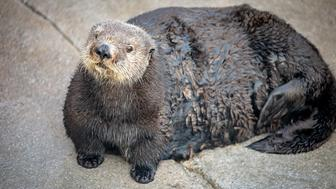 Abby the Otter at Monterey Bay Aquarium