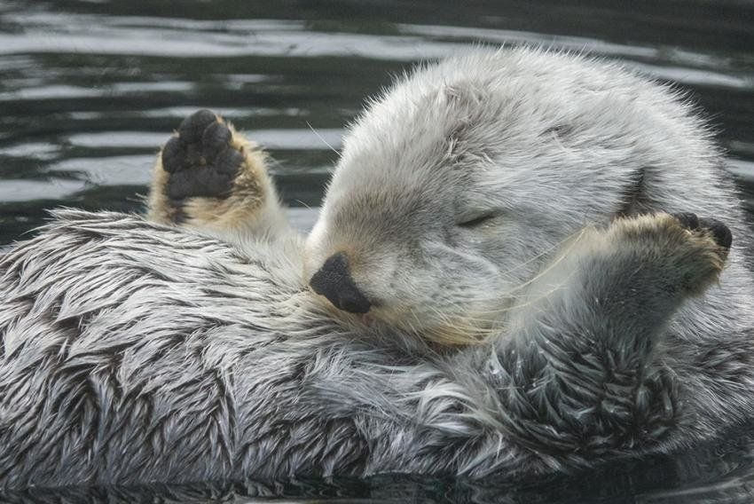 Oregon Zoo's basketball-playing sea otter, Eddie, dead at age 20