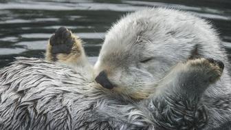 Eddie The Otter at Oregon Zoo