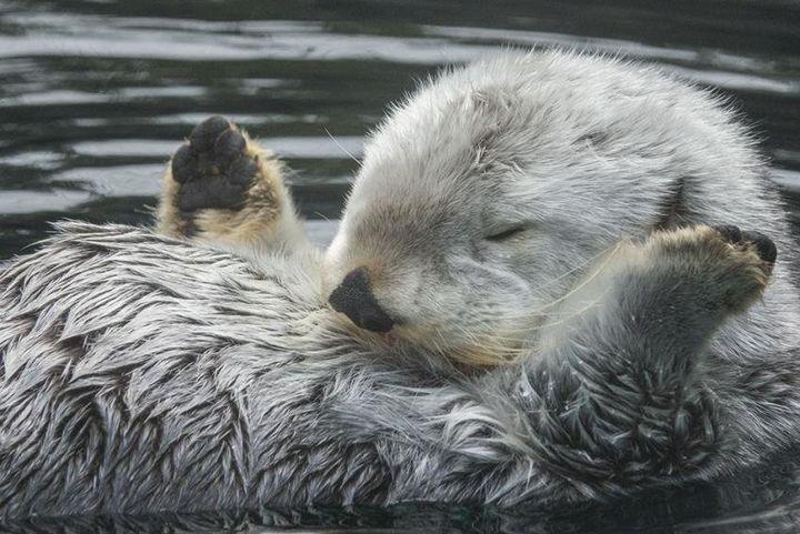 오리건 동물원이 공개한 해달 에디의 사진. 날짜 밝혀지지 않음.