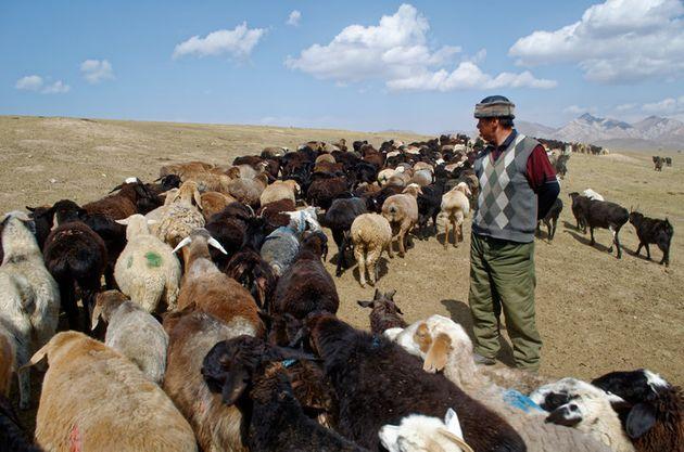 Kachkynovna's Ehemann, Talant Egimbaev Asankanovich, beim Weiden seiner 1,000 goats.