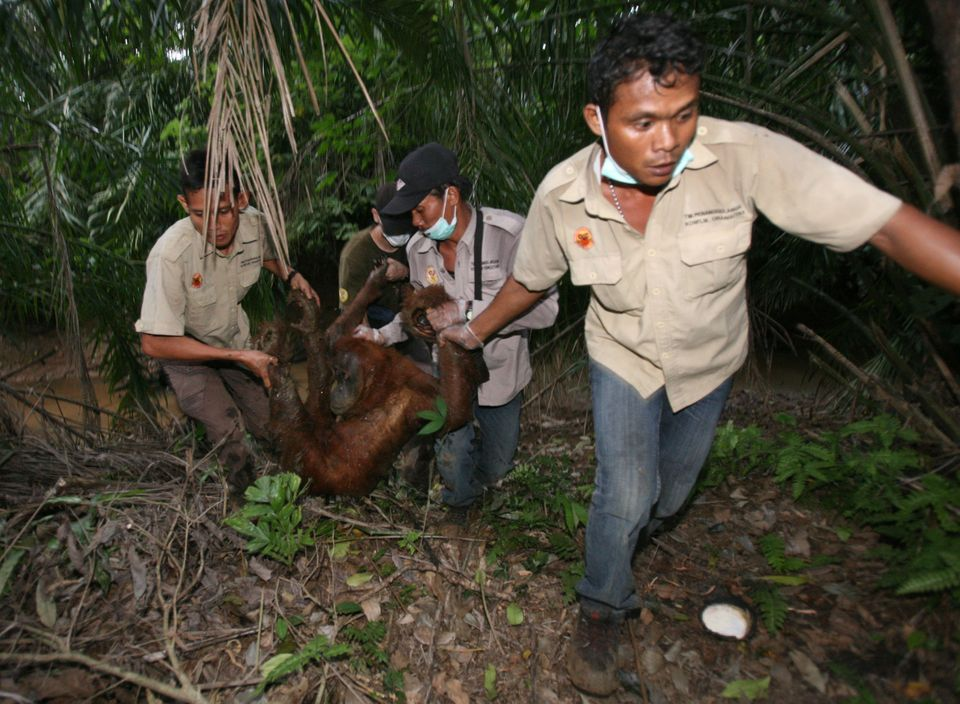 Activists with the Orangutan Information Center carry a tranquilized orangutan from a palm oil plantation...
