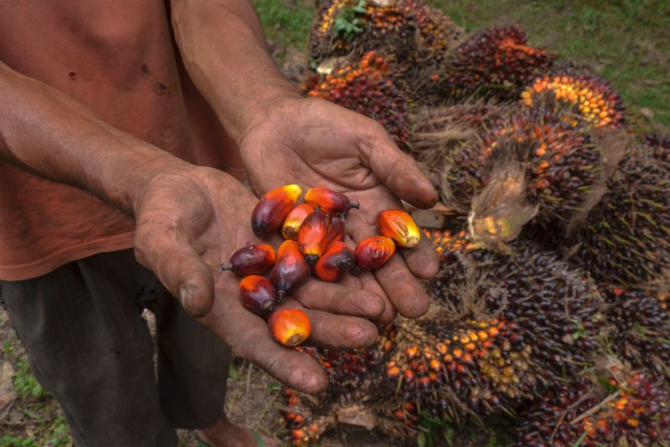 A palm oil farmer displaying palm oil seeds in Riau province, Indonesia, in