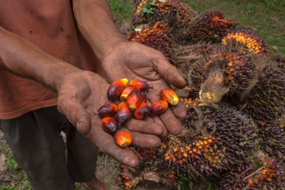 A palm oil farmer displaying palm oil seeds in Riau province, Indonesia, in August.