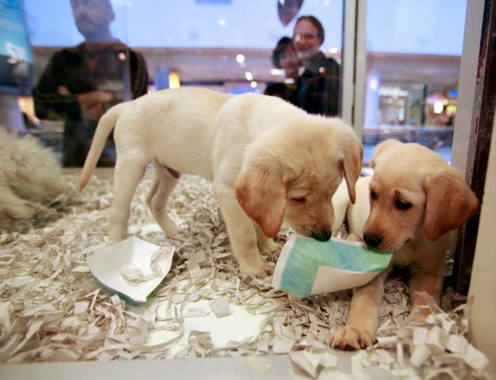FILE - In this Monday, Oct. 4, 2010 file photo, window shoppers look at a pair of Labrador puppies for sale in Los Angeles, C