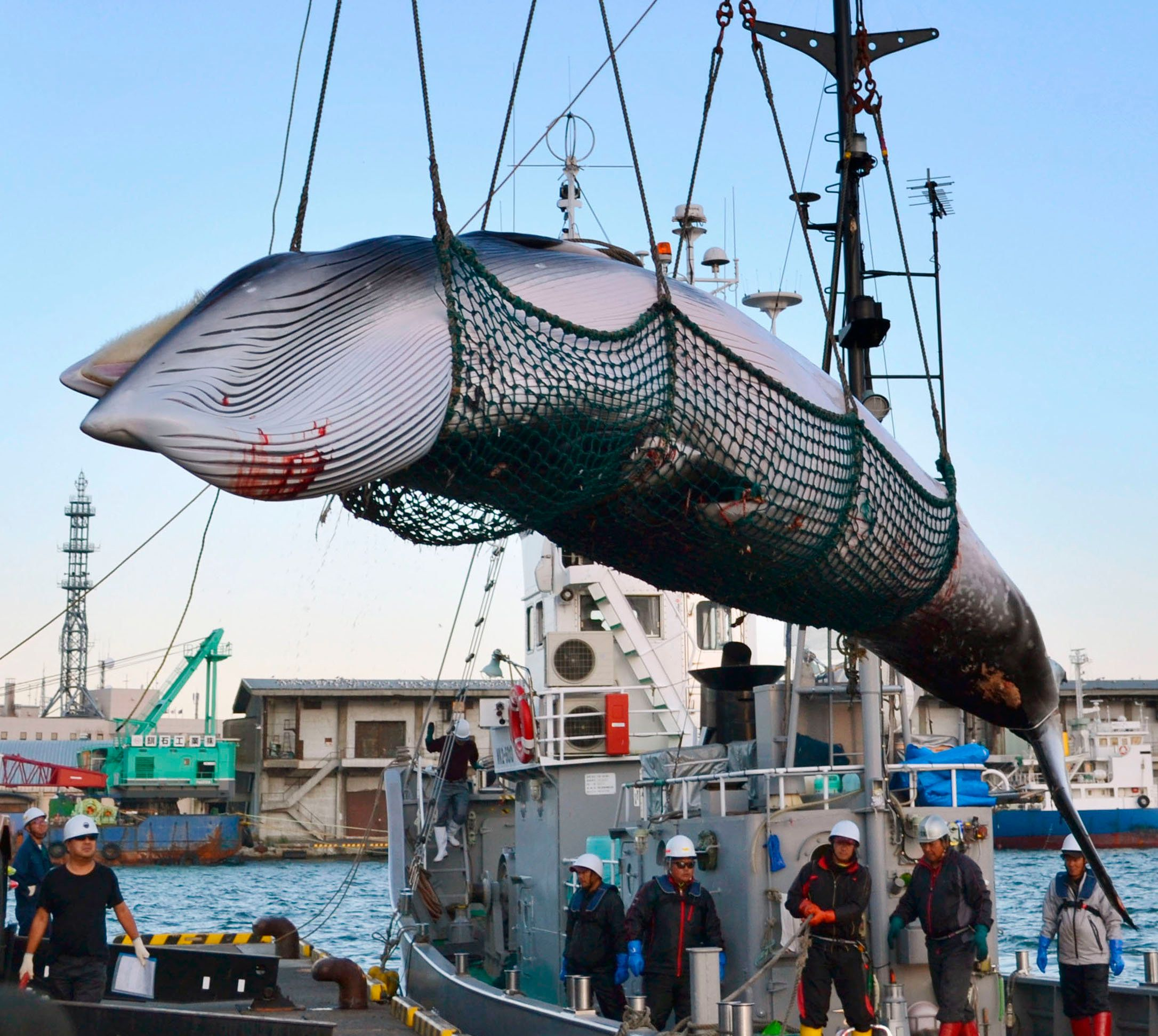 Japan To Launch  Commercial Whaling Again After Withdrawing From Treaty