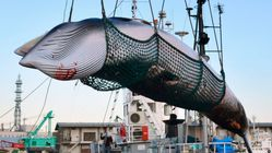 Japan To Launch Commercial Whaling Again After Withdrawing From International