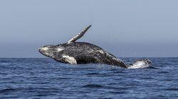 일본이 30년 만에 상업적 고래잡이 재개를