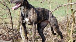 Βρετανία: Συμμορίες εκτρέφουν σκυλιά-δολοφόνους για «ακραίο