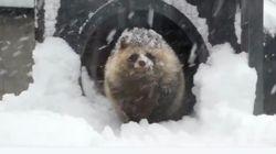 눈을 바라보는 홋카이도 너구리의 우수에 찬
