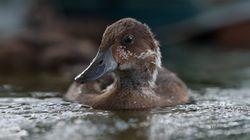Το σπανιότερο πτηνό του Κόσμου βρίσκει νέο σπίτι και σώζεται από τον