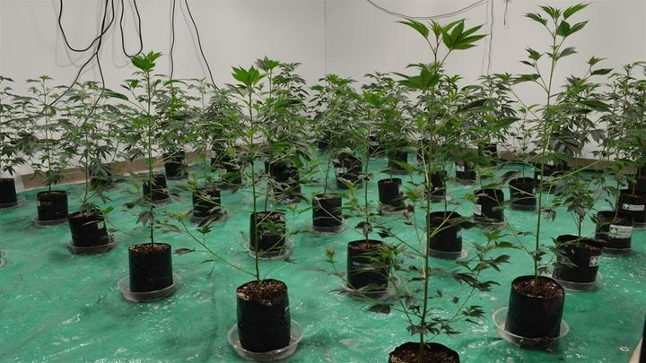"""Early stage cannabis """"clone"""" plants in Alexis Bronson's Oakland business incubator space. Two previous incubator partners und"""
