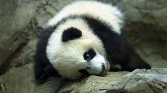 Giant panda cub Bei Bei, seen through glass, roams in his pen at the National Zoo in Washington, Saturday, Jan. 16, 2016. The cub, born Aug. 22, made his public debut Saturday, though zoo members have been able to see him since Jan. 8. (AP Photo/Jose Luis Magana)