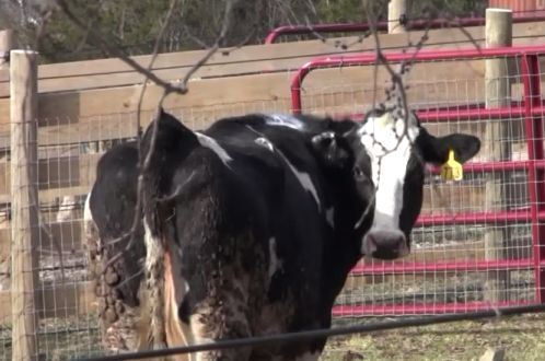 Cow Escapes From Slaughterhouse-Bound Truck, Begins New Life At