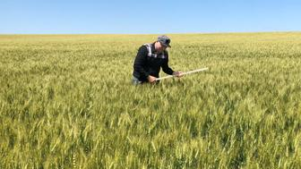 A scout on a Wheat Quality Council tour checks a spring wheat field in east-central North Dakota, U.S., July 24, 2018.  Photo taken July 24, 2018.  REUTERS/Julie Ingwersen