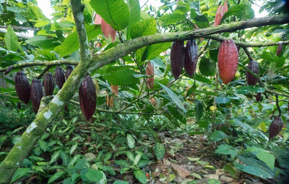 In diesem Stadium ist nicht mehr viel Arbeit nötig. Der Kakao wächst im Unterholz des Waldes.