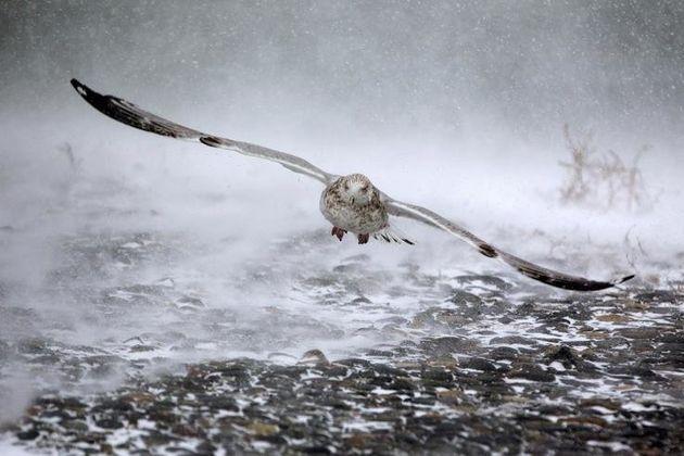 Ένας γλάρος αντιμέτωπος με ισχυρούς ανέμους και χιονιά
