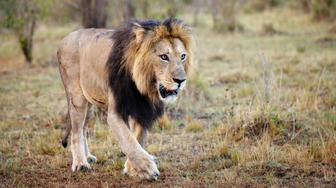 Male lion, known as Lipstick, walks through a beautiful landscape at early morning in the Masai Mara, Kenya.