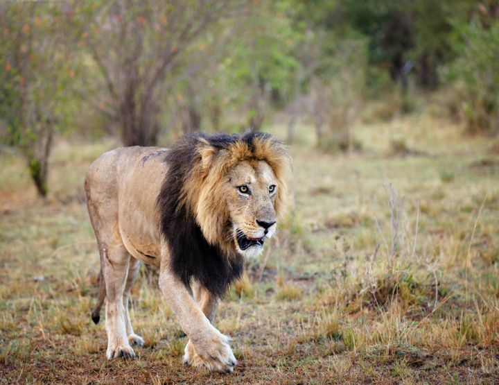 A worker was killed by a lion, similar to the one pictured, at a North Carolina wildlife preserve during an enclosure cleanin