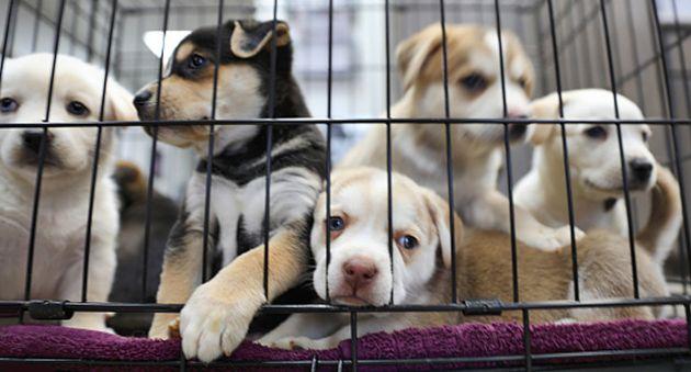 캘리포니아에서는 구조된 동물만 반려동물로 팔 수 있게