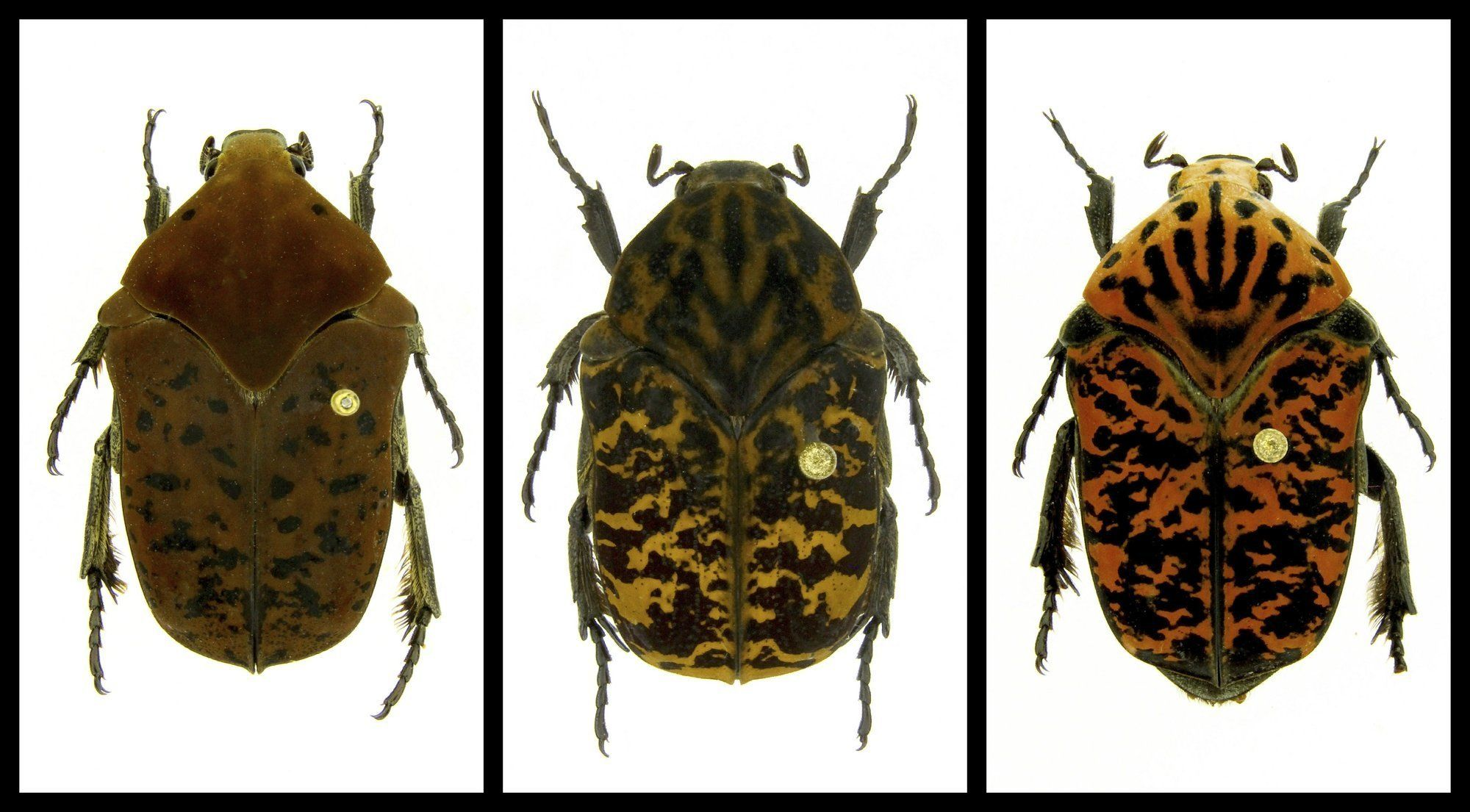 """This combination of undated photos provided by Brett Ratcliffe in December 2018 shows, from left, Gymnetis drogoni, Gymnetis rhaegali and Gymnetis viserioni beetles from South America. Ratcliffe named three of his eight newest beetle discoveries after the dragons from the HBO series """"Game of Thrones"""" and George R.R. Martin book series """"A Song of Ice and Fire."""""""